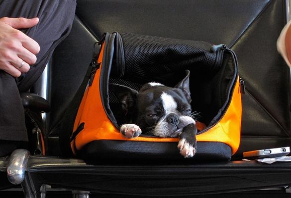Перевозка животных в салоне самолета